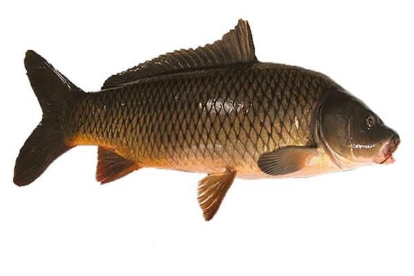 Thơm ngon đưa cơm với cách làm cá chép nướng giấy bạc – Món Ngon