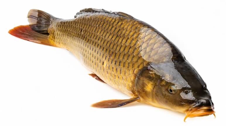 Kết quả hình ảnh cho cá chép